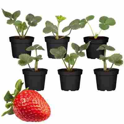 Erdbeere Mix 9 cm Topf, 6er-Set