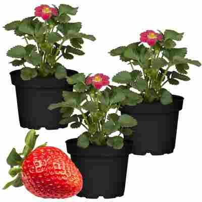 Erdbeere 'Toscana' 11 cm Topf 3er-Set