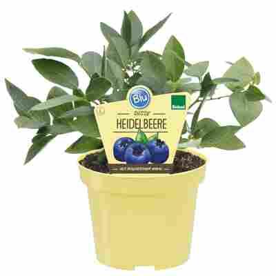 Bio-Heidelbeere 'Blue Crop' 12 cm Topf