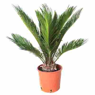 Palmfarn 10+ Blätter 17 cm Topf