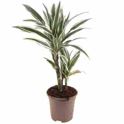 Drachenbaum 2er-Stamm verschiedene Sorten 17 cm Topf