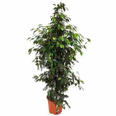 """Ficus """"Danielle"""""""