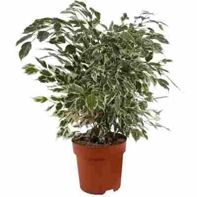 Ficus verschiedene Sorten 19 cm Topf