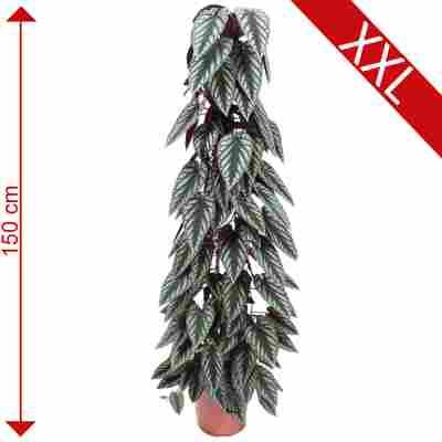 XXL-Zimmerrebe grün/weiß 27 cm Topf