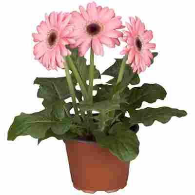Gerbera rosa, 12 cm Topf