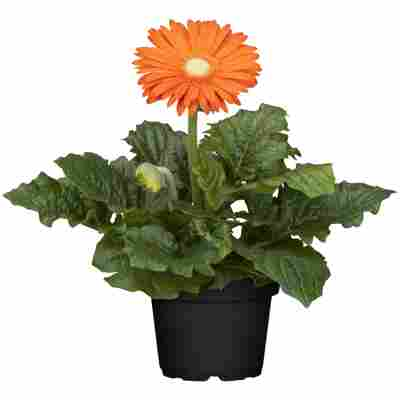 Gerbera orange, 12 cm Topf