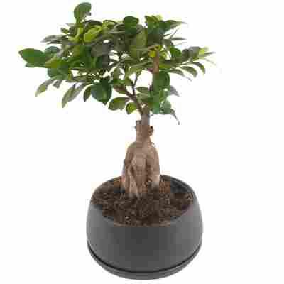 Zimmerbonsai Ficus Ginseng im Betontopf 20 cm