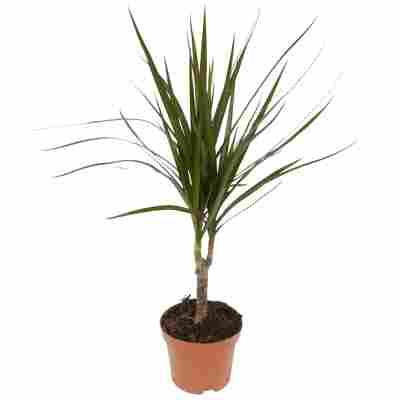 Luftverbesserer Drachenbaum verschiedene Sorten 11 cm Topf