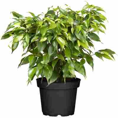Luftverbesserer Ficus 'Natasja' 12 cm Topf