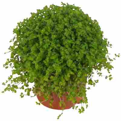 Luftverbesserer Bubikopf dunkelgrün 11 cm Topf