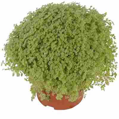 Luftverbesserer Bubikopf blassgrün 11 cm Topf