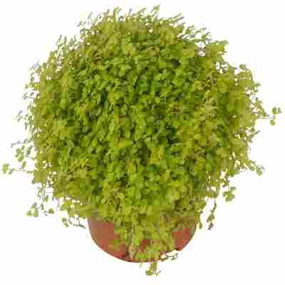 Luftverbesserer Bubikopf hellgrün 13 cm Topf