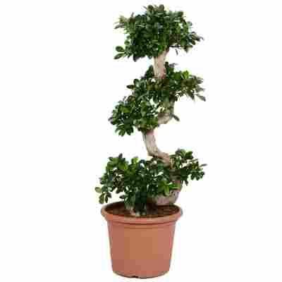 Zimmerbonsai Ficus Ginseng mit S-Form 35 cm Topf
