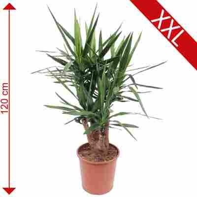 XXL-Palmlilie 30 cm Topf