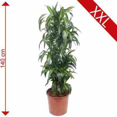 XXL-Drachenbaum 'Hawaiian Sunshine' 30 cm Topf