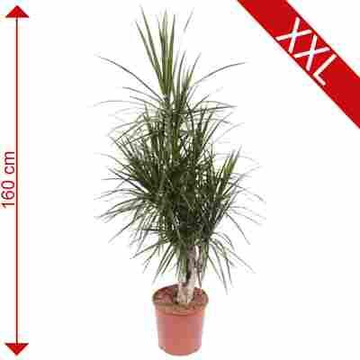 XXL-Drachenbaum 30 cm Topf