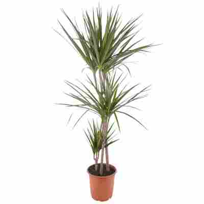 Drachenbaum 'Marginata' grün 21 cm Topf