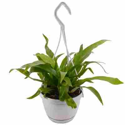 Nestfarn grün 13 cm Ampeltopf