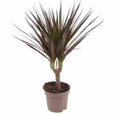 Luftverbesserer Drachenbaum rot/grün 11 cm Topf