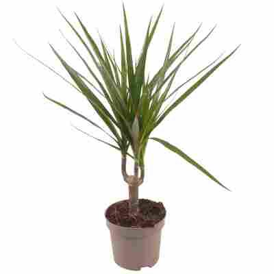 Luftverbesserer Drachenbaum grün 11 cm Topf