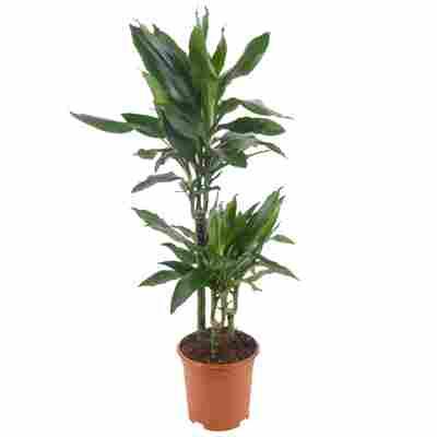 Drachenbaum grün 21 cm Topf