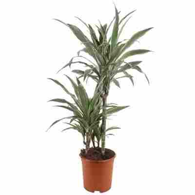 Drachenbaum grün/weiß 21 cm Topf