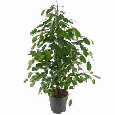 Ficus 'Anastasia' 21 cm Topf