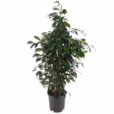 Ficus 'Danielle' 21 cm Topf
