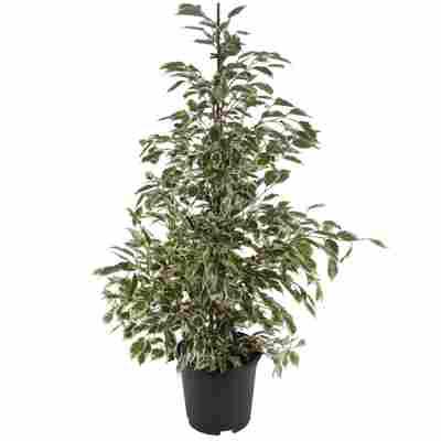 Ficus 'Twilight' 21 cm Topf