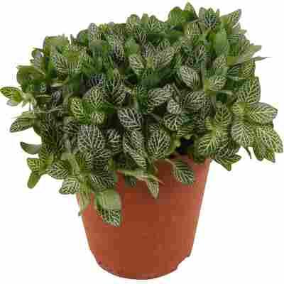 Mosaikpflanze grün/weiß 15 cm Topf