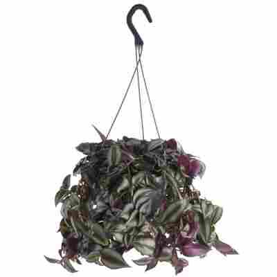 Dreimasterblume grün/violett 18 cm Ampeltopf