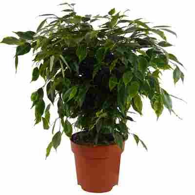 Ficus dunkelgrün 19 cm Topf