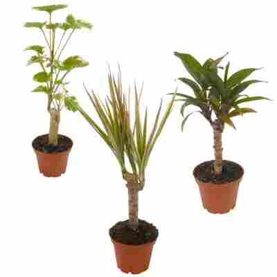 Mini-Grünpflanzen sortiert 7 cm Topf, 3er-Set