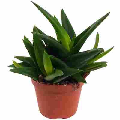 Aloe-Mix 6 cm Topf