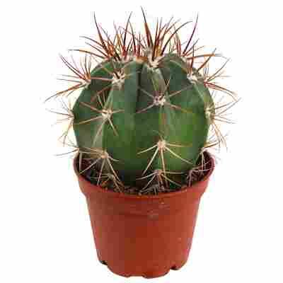 Melocactus azureus verschiedene Sorten 6 cm Topf