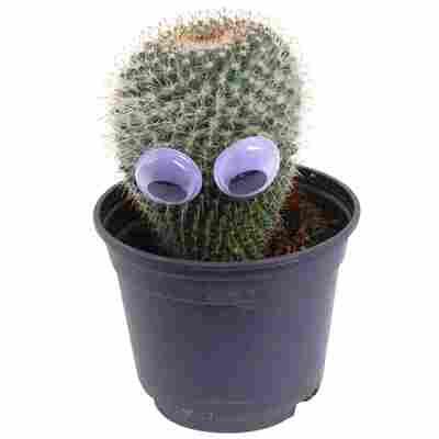 Kaktus mit Augen 9 cm Topf