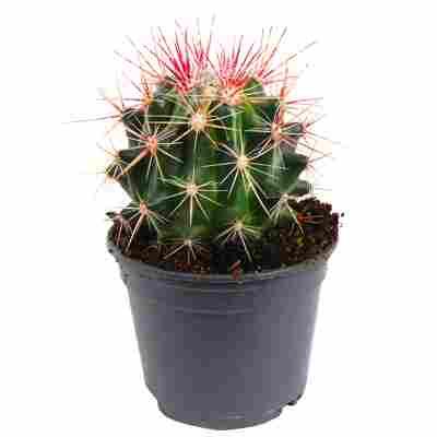 Ferocactus stainesii 9 cm Topf