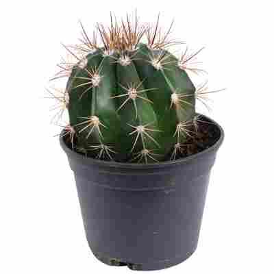 Melocactus azureus 9 cm Topf