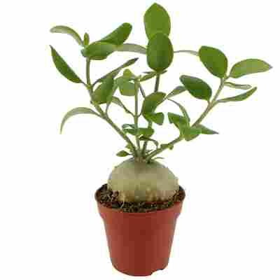 Ameisenpflanze 12 cm Topf