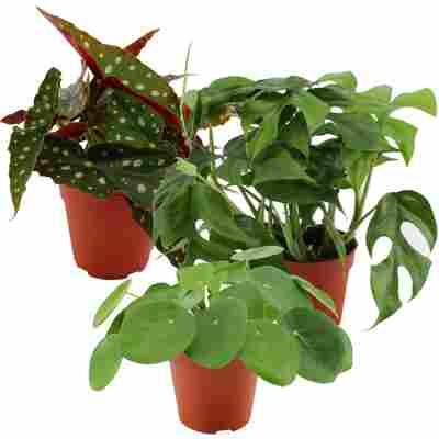 Trend-Zimmerpflanzen 12 cm Topf, 3er-Set