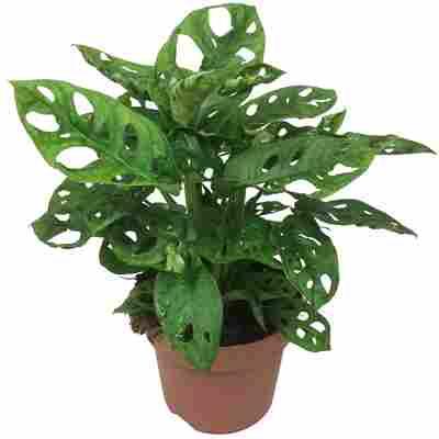 Luftverbesserer Monstera 'Monkey Leaf' 12 cm Topf