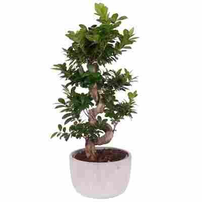 Zimmerbonsai Ficus Ginseng mit S-Form Schale Ø 30 cm