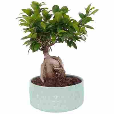 Zimmerbonsai Ficus Ginseng im Keramiktopf Ø 22 cm