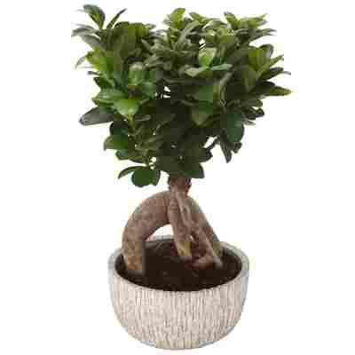 Zimmerbonsai Ficus Ginseng im hellgrauen Betontopf Ø 17 cm