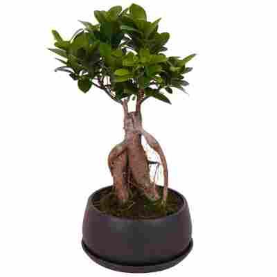 Zimmerbonsai Ficus Ginsengim schwarzen Betontopf Ø 17 cm
