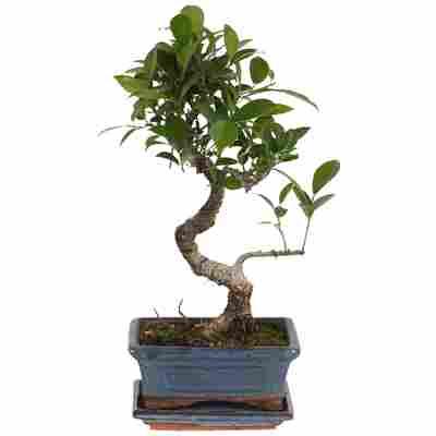 Zimmerbonsai Ficus Ginseng im Keramiktopf 15 cm