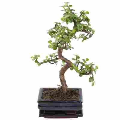 Zimmerbonsai Jadebaum im Keramiktopf 15 cm