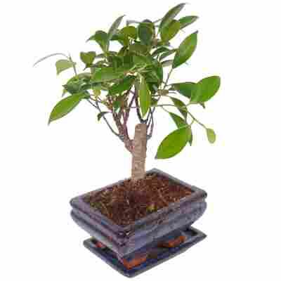 Zimmerbonsai Ficus Ginseng im Keramiktopf 12 cm