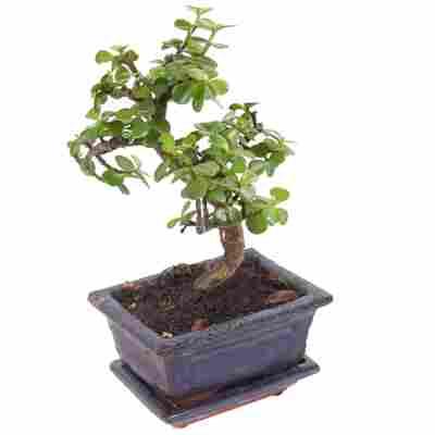 Zimmerbonsai Jadebaum im Keramiktopf 12 cm