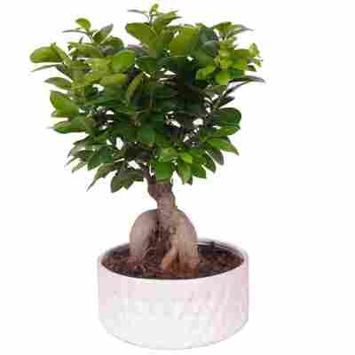 Zimmerbonsai Ficus Ginseng im weißen Keramiktopf Ø 22 cm